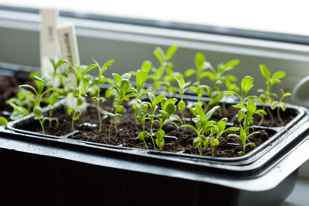 ‏Sanitizing seeds and accelerating germination‏